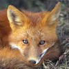 Fox80