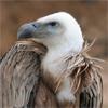 Obsidian Vulture