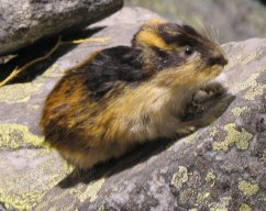 Commandante Lemming