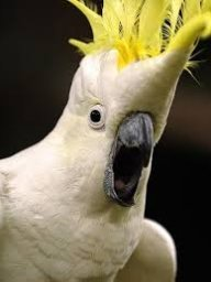 SharpCockatoo
