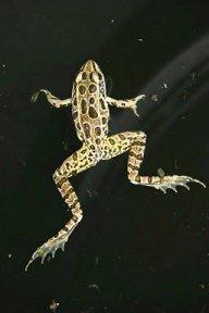 Etheona Frogg