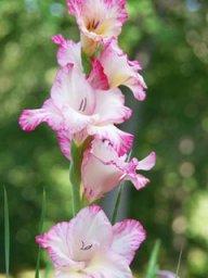 Gladiolus83